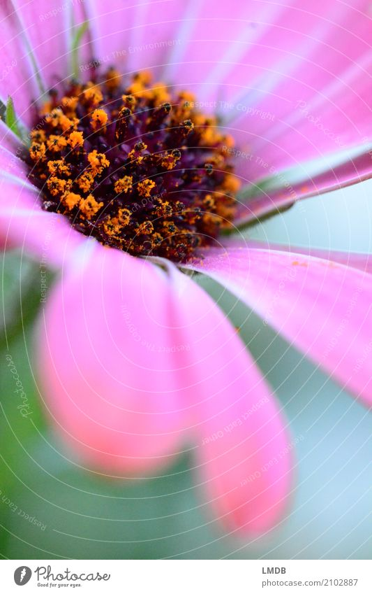 Blüte und Blütenstaub Pflanze Blume orange rosa Gerbera Korbblütengewächs Pollen Blütenblatt Blühend Geschenk Farbfoto mehrfarbig Außenaufnahme Nahaufnahme