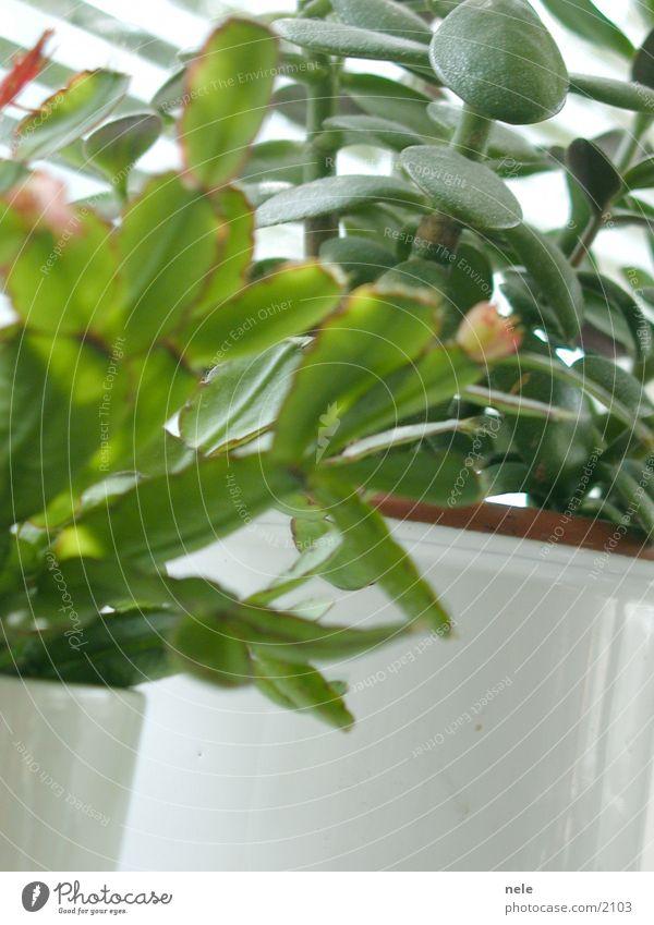 Wohnen im Grünen Zimmerpflanze Affenbrotbaum Fensterbrett Licht grün Blatt osterkaktus Häusliches Leben
