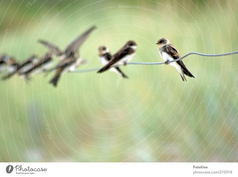 Flugschule Natur grün Sommer Tier hell Vogel warten Umwelt sitzen natürlich Wildtier Draht Schwarm Schwalben Vogelschwarm