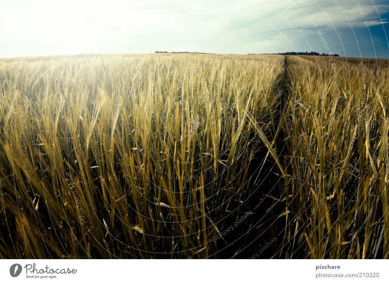 Lost in Kornfeld Natur Landschaft Schönes Wetter Nutzpflanze Feld Wachstum ästhetisch natürlich gelb gold Weizen Wege & Pfade Horizont Farbfoto Außenaufnahme