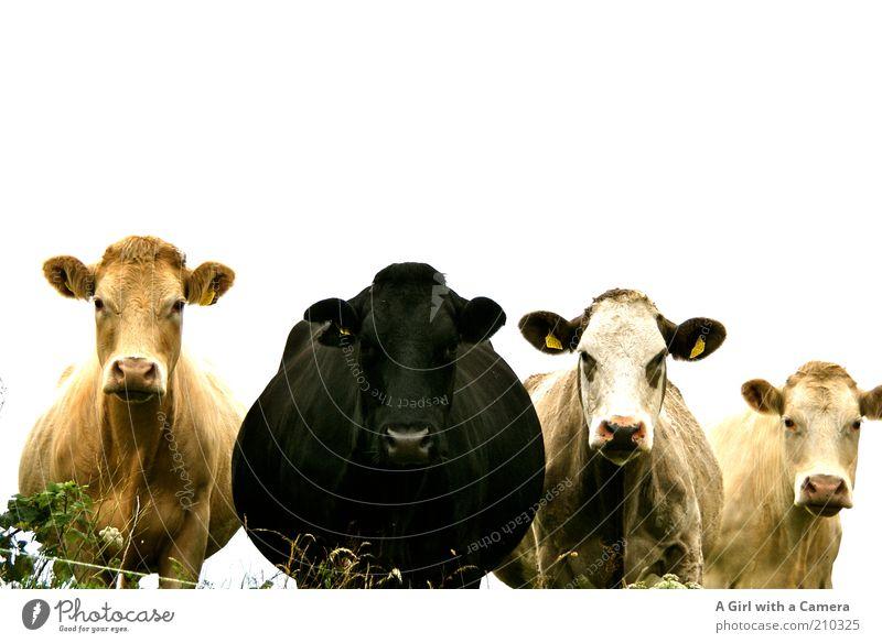 Die Mädels Natur Menschenleer Tier Kuh 4 Tiergruppe Herde Blick stehen gold schwarz Sympathie Freundschaft Zusammensein Tierliebe Misstrauen Trägheit eingezäunt