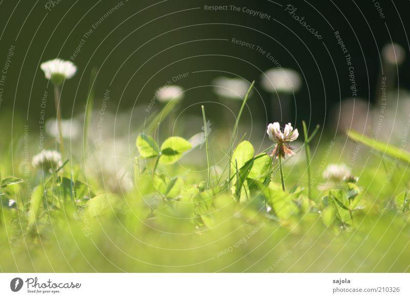 käferperspektive II Umwelt Pflanze Blume Gras Klee Kleeblüte Gänseblümchen grün Rasen Wiese Wiesenblume Perspektive Sommer Farbfoto Außenaufnahme Nahaufnahme