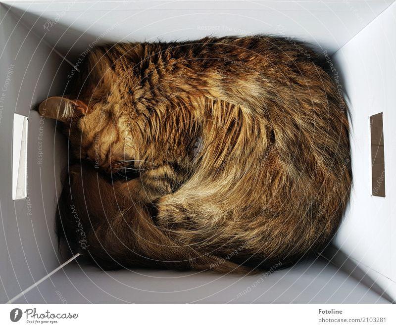Passt schon! Tier Haustier Katze Fell 1 nah natürlich weich braun weiß Kiste Karton Fellfarbe Katzenohr schlafen Kuscheln Farbfoto mehrfarbig Innenaufnahme