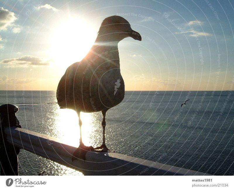 Meins Meins Meins Vogel Möwe Gier Vertrauen Erholung Sonnenuntergang Laufsteg Findet Nemo Sommer Meer Wellen träumen Ferien & Urlaub & Reisen füttern Verkehr
