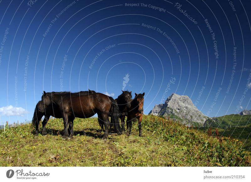 Pferde Herde Natur blau Sommer Ferien & Urlaub & Reisen Tier Ferne Wiese Gras Berge u. Gebirge Freiheit Landschaft Felsen Pferd Tourismus Tiergruppe Alpen