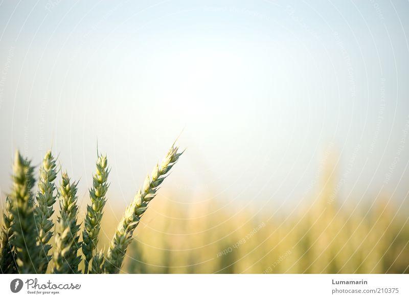 Vorgruppe Umwelt Wolkenloser Himmel Sonnenlicht Sommer Pflanze Nutzpflanze Feld einfach Gesundheit hell natürlich Wärme Idylle Wachstum Getreide Getreidefeld