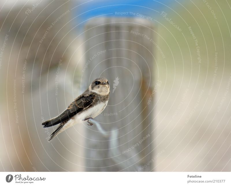 allein Natur Tier hell Vogel Umwelt sitzen nah Flügel natürlich Wildtier Zaun Schwalben Zaunpfahl