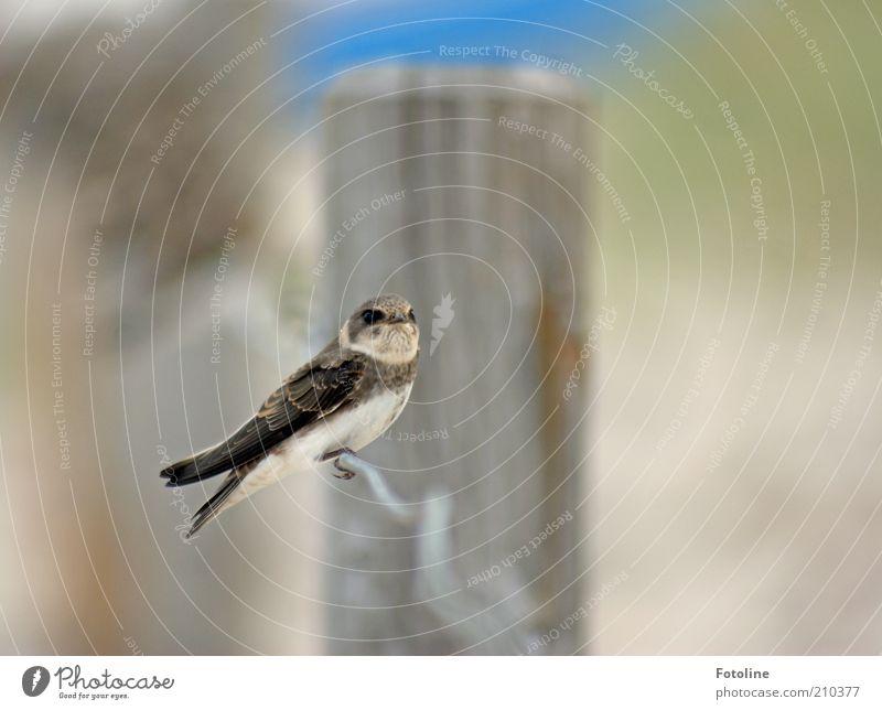 allein Umwelt Natur Tier Wildtier Vogel Flügel 1 sitzen hell nah natürlich Schwalben Farbfoto Gedeckte Farben Außenaufnahme Nahaufnahme Textfreiraum rechts Tag