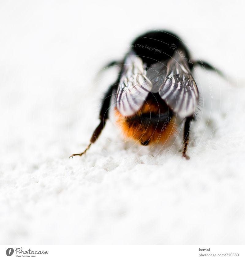 Hummelhintern Natur schwarz Tier Beine orange sitzen Hinterteil Flügel Insekt Biene Wildtier Aktion
