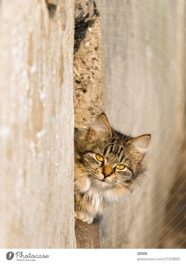 Katze im Freien Tier Pelzmantel Haustier wild reizvoll Blende Katzen Ohren Laibung fluffig pelzig Golfloch Katzenbaby LAZY herausschauen Säugetier hinausschauen
