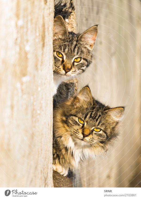 Katzen im Freien Tier Pelzmantel Haustier wild reizvoll Blende Ohren Laibung fluffig pelzig Golfloch Katzenbaby LAZY herausschauen Säugetier hinausschauen