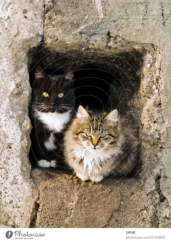 Katzen Tier Pelzmantel Haustier wild reizvoll Blende Ohren Laibung fluffig pelzig Golfloch Katzenbaby LAZY herausschauen Säugetier hinausschauen gucken