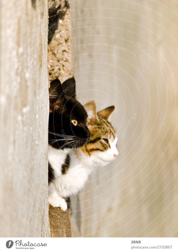 Katzen Tier Haustier niedlich fleischfressend heimisch domestiziert Ohren Laibung glücklich Fensterbank Wildkatze Säugetier Moggie Mischling Köter outbred