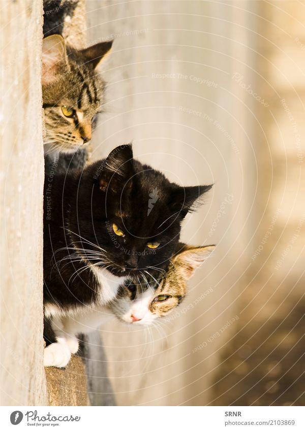 Katzen Tier kurzhaarig Haustier niedlich fleischfressend glücklich Wildkatze Säugetier Moggie Mischling Köter outbred Muschi halbwild Tabby Kater Blick