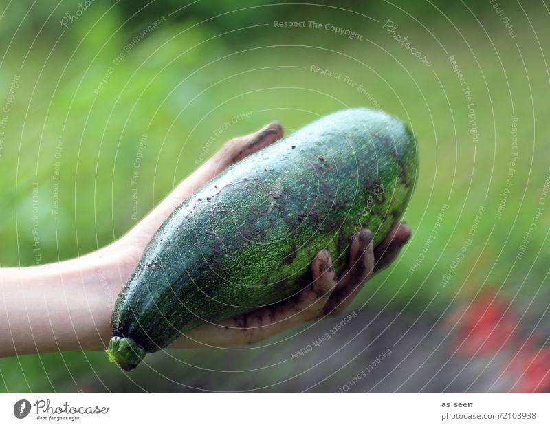 Dicke Zucchini Lebensmittel Gemüse Kürbisgewächse Ernährung Bioprodukte Vegetarische Ernährung Gesunde Ernährung Hand Finger Umwelt Natur Sommer Pflanze