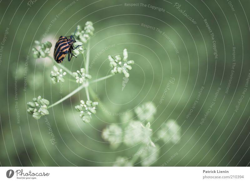 Streifenwanze Natur schön grün Pflanze Sommer ruhig Tier Blüte warten Umwelt sitzen weich Insekt Neugier Wildtier niedlich