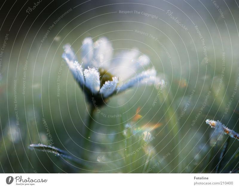 Für Euch! Umwelt Natur Pflanze Urelemente Wasser Winter Eis Frost Blume Coolness hell kalt natürlich gefroren Raureif Gänseblümchen Farbfoto mehrfarbig