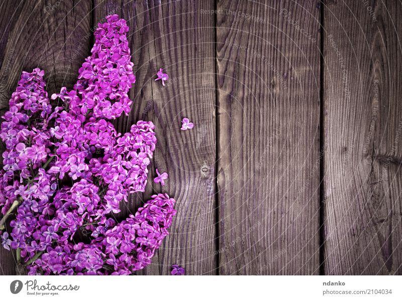 Zweig einer lila Flieder schön Natur Pflanze Blume Blatt Blüte Blumenstrauß Holz frisch hell natürlich braun rosa Farbe Überstrahlung Fliederbusch geblümt