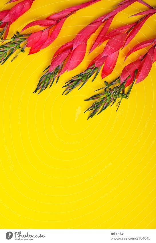 rosa Blume von Billbergia schön Ostern Geburtstag Natur Pflanze Frühling Blüte Blumenstrauß Liebe frisch hell natürlich gelb Überstrahlung geblümt Feiertag
