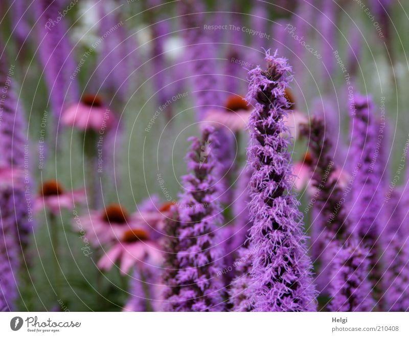 im Blumengarten... Umwelt Natur Pflanze Sommer Schönes Wetter Blüte Sonnenhut Roter Sonnenhut Blühend Duft Wachstum ästhetisch frisch schön natürlich violett