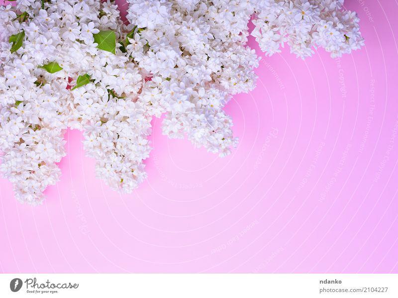 Bouquet von blühenden weißen Flieder schön Feste & Feiern Natur Pflanze Blume Blatt Blüte Blumenstrauß frisch hell natürlich rosa Farbe Überstrahlung
