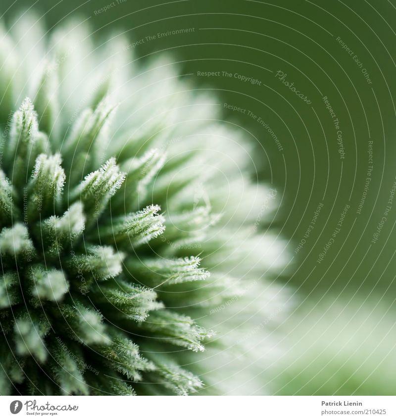 rund und stachelig Natur schön Pflanze Sommer Erholung Wetter Umwelt groß ästhetisch rund Makroaufnahme authentisch Klima natürlich Unendlichkeit außergewöhnlich
