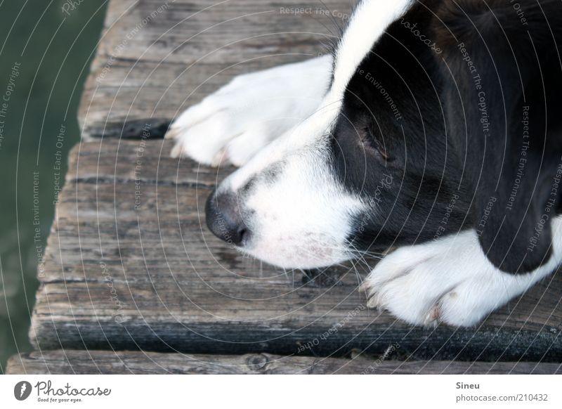 Aquaphobie Erholung Sommer Wasser Hund Tiergesicht Krallen 1 beobachten liegen niedlich schwarz weiß Tierliebe Neugier Erwartung Natur Pause Steg Farbfoto