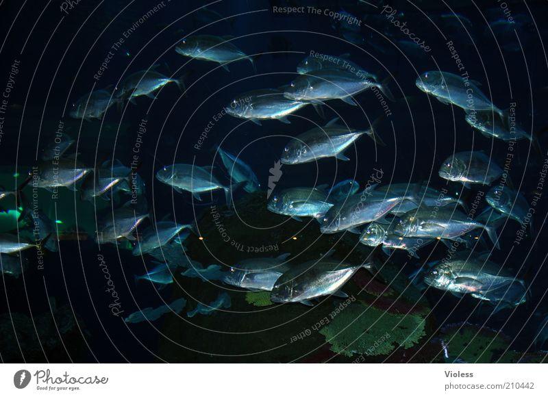 Aquarium groß Fisch Tiergruppe Schwarm Fischschwarm