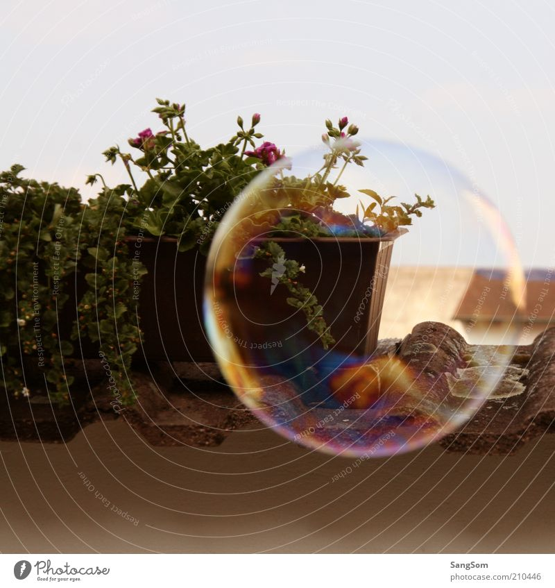 flieg Seifenblase flieg Himmel Sommer Pflanze Blume Topfpflanze Terrasse Blühend Duft fliegen frei nass rund mehrfarbig Freude Gelassenheit kurze Schönheit