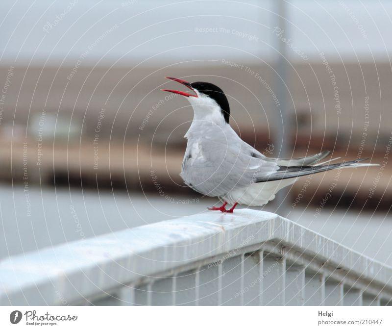 kleiner Schreihals... Natur schön weiß rot Sommer Tier grau Vogel Metall Umwelt ästhetisch stehen Tiergesicht Flügel einzigartig natürlich