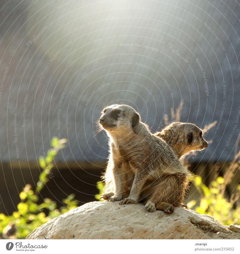 Wachposten Erdmännchen 2 Tier beobachten entdecken Blick sitzen warten exotisch Neugier niedlich Wachsamkeit gewissenhaft standhaft Erwartung Teamwork