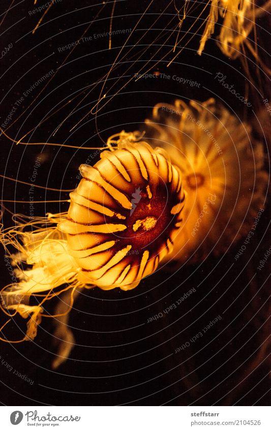 Japanische Meer Nessel Qualle, Chrysaora Pacifica Natur blau Wasser Tier Leben gelb Bewegung Küste orange gold Wildtier Lebewesen Beautyfotografie tief exotisch