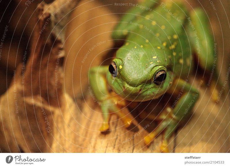 Großartiger Baumfrosch Litoria splendida Tier Frosch 1 wild gelb grün Wunderschöner Baumfrosch Laubfrosch grüner Frosch Amphibie Herp Herpetologie Reptil