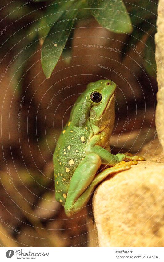 Großartiger Baumfrosch Litoria splendida Tier Wildtier Frosch 1 wild gelb grün Wunderschöner Baumfrosch Laubfrosch grüner Frosch Amphibie Herp Herpetologie