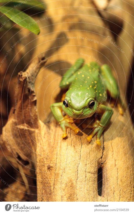 Großartiger Baumfrosch Litoria splendida Tier Frosch 1 wild gold grün Wunderschöner Baumfrosch Laubfrosch grüner Frosch Amphibie Herp Herpetologie Reptil