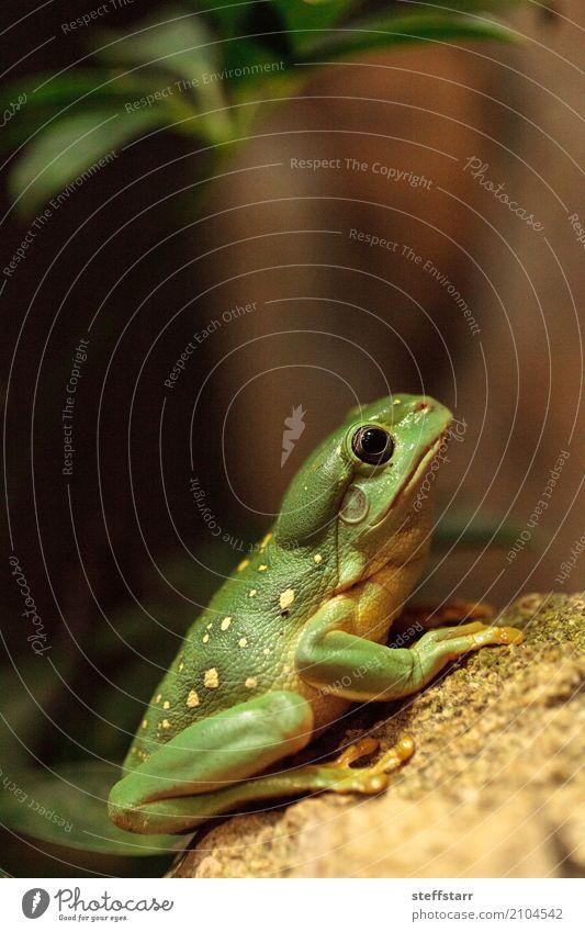 Großartiger Baumfrosch Litoria splendida 1 Mensch Tier Wildtier wild grün Wunderschöner Baumfrosch Laubfrosch Frosch grüner Frosch Amphibie Herp Herpetologie