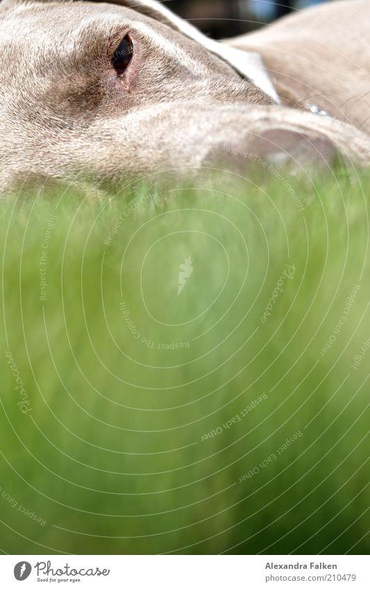 Er liegt II grün ruhig Tier Erholung Gras grau Hund groß schlafen Rasen Tiergesicht liegen Fell Haustier Schnauze Halbschlaf