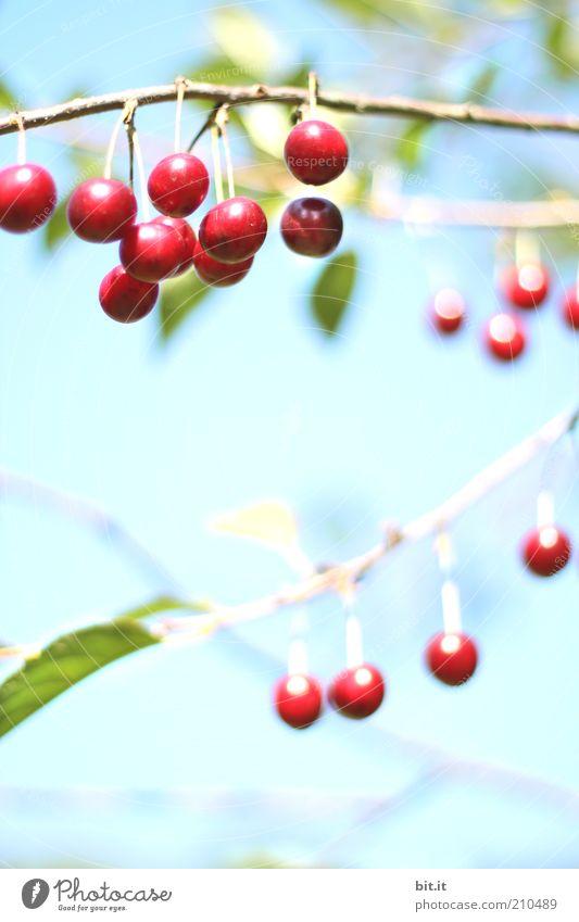 Mit meinem Neuen ist gut Kirschen essen Himmel Baum Pflanze rot Sommer Ernährung Lebensmittel Luft Wetter Gesundheit Frucht glänzend frisch Wachstum süß