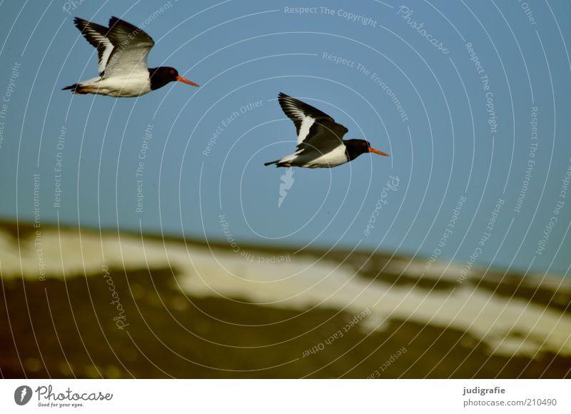 Island Umwelt Natur Landschaft Tier Himmel Wolkenloser Himmel Schnee Hügel Berge u. Gebirge Schneebedeckte Gipfel Wildtier Vogel Austernfischer 2 Tierpaar