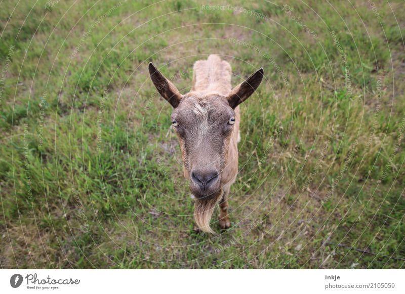Ziegen, die auf Frauen starren. Natur Frühling Sommer Gras Wiese Tier Nutztier Wildtier Tiergesicht 1 Blick stehen nah Neugier Gefühle Farbfoto Innenaufnahme