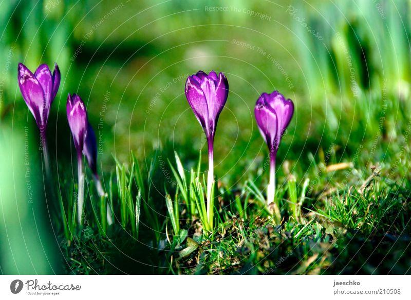Frühling satt Natur schön Blume grün Pflanze Wiese Blüte Gras Frühling Garten Park Umwelt Erde frisch ästhetisch Wachstum