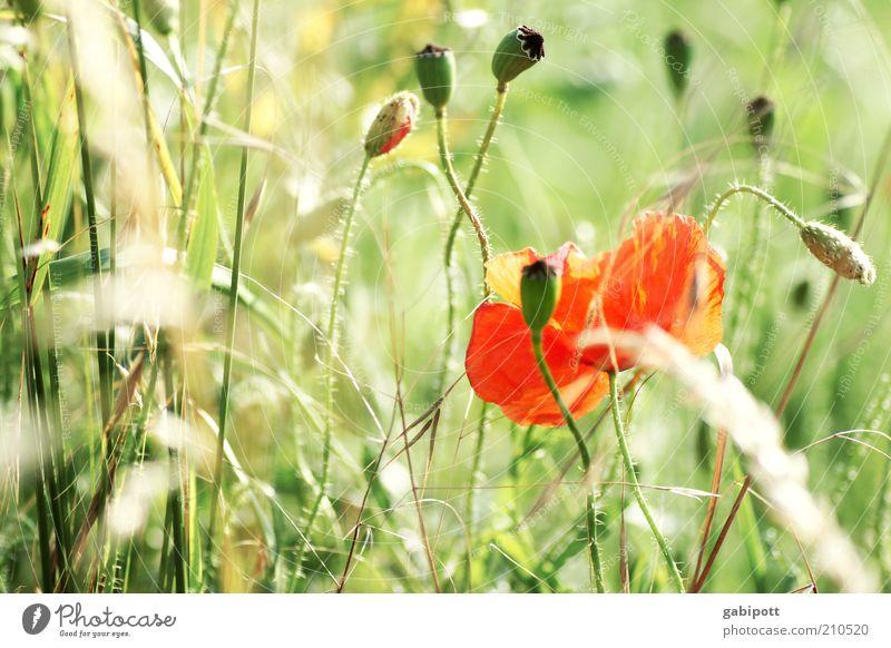 immer wieder mohntag... Natur Blume grün Pflanze rot Sommer Blüte Landschaft Umwelt authentisch wild Blühend Duft Mohn Blumenwiese
