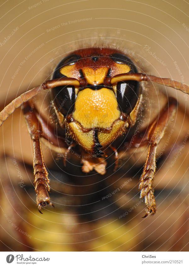 Gestatten: Horn, Horn Isse( Vespa crabro ) Natur Tier Sommer kurzhaarig Wildtier Biene Tiergesicht Insekt 1 Blick glänzend schön stachelig braun gelb gold