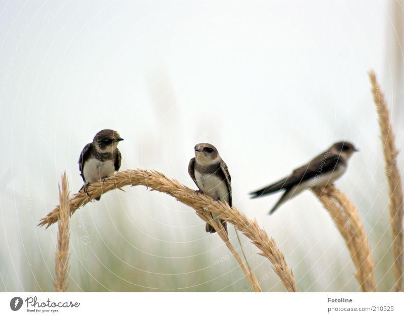 Kaffeeklatsch Umwelt Natur Tier Luft Himmel Sommer Pflanze Gras Wildtier Vogel Tiergesicht Flügel hell natürlich sitzen Schwalben Strandhafer Farbfoto