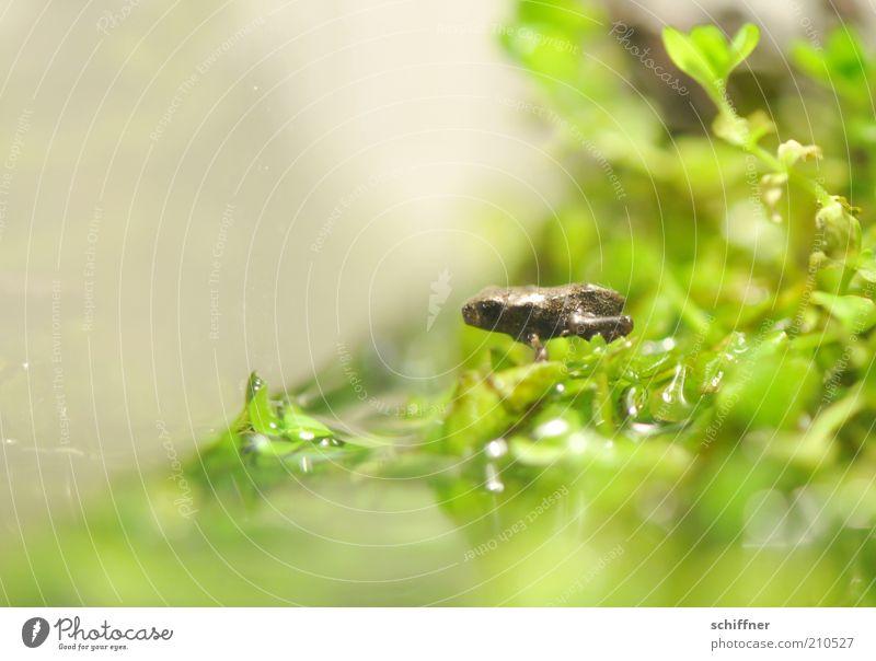 Willi nimmt ein Bad Tier Frosch 1 Tierjunges hocken klein grün winzig Wasser Wasserpflanze Blatt Seeufer Nahaufnahme Makroaufnahme Tierporträt sitzen hockend