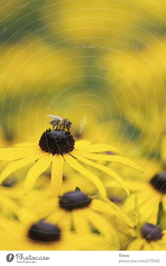 Gelber Sonnenhut Sommer Blume Blüte gelb Stauden Prachtstaude Pflanze Biene Nektar saugen Farbfoto Außenaufnahme Menschenleer Textfreiraum oben Kontrast