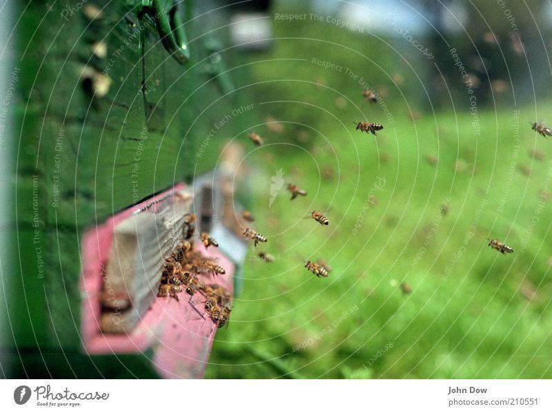 Ungestümer Luftverkehr Sommer Biene Schwarm fliegen viele emsig fleißig Honig Summen arbeitsfreudig Bienenstock Nahaufnahme fliegend Schweben Honigbiene