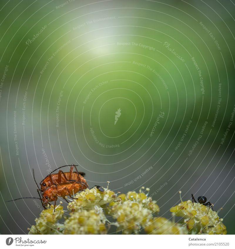 Vom Lieben und Lassen | die Ameise lässt es lieber Natur Pflanze Tier Sommer Schönes Wetter Blume Blüte Wiesenkümmel Käfer Feuerkäfer 3 Blühend genießen