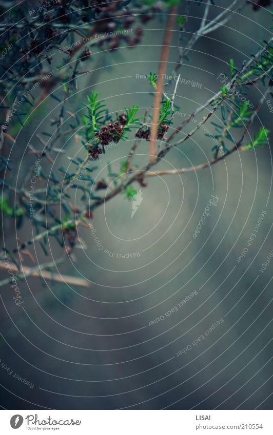 take care Umwelt Natur Landschaft Pflanze Sommer Grünpflanze Wildpflanze blau braun grün ruhig Tannennadel Farbfoto Außenaufnahme Detailaufnahme Makroaufnahme