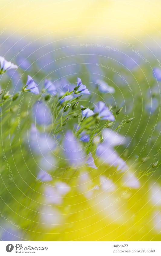 Blütenmeer Alternativmedizin Gesunde Ernährung harmonisch Sinnesorgane Erholung ruhig Natur Pflanze Himmel Sommer Schönes Wetter Blume Nutzpflanze Lein